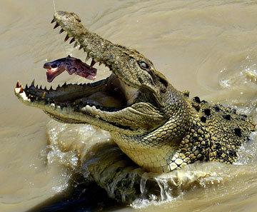 Het is happen of gehapt worden in de krokodillenvijver!
